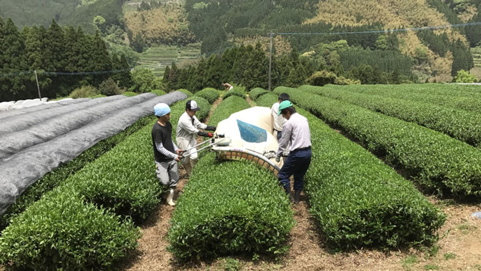 広大な土地でお茶の収穫の様子